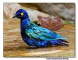 Purple-headed Glossy Starling