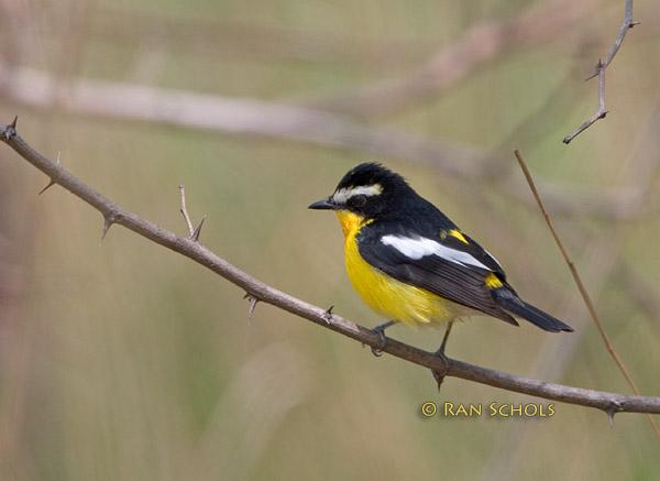 Yellow-rumped flycatcher C20D_03491.jpg