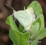 Cabbage Whites Mating-N