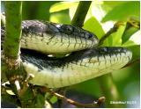 Black Rat Snakes-Mating