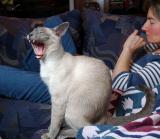 Yawning cat.jpg