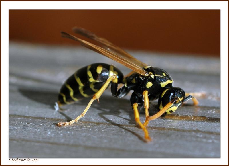Queen Paper Wasp