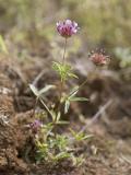 Trifolium tridentatum