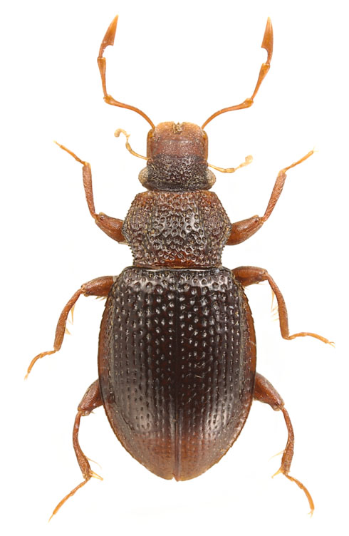 Hydraena sp. (China) - body length: 2 mm