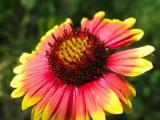Indian Blanket (Wildflower)