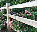 Rose Fence