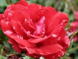Rose Red With Morning Dew