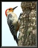 Woodpecker, Red Bellied
