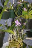 Epidendrum Oerstedella centradenia #1 IMG03675