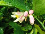 Lemon Blossoms in the rain