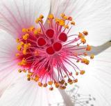 Hibiscus Pistil and Stamen