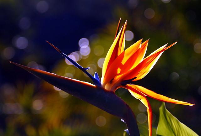 Strelitzia aka bird of paradise