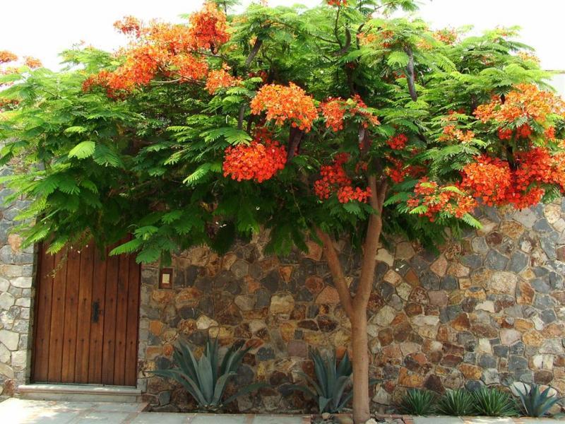 Tabachin Tree