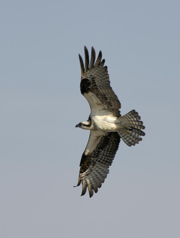 Plum Island, Parker River National Wildlife Refuge Osprey.jpg