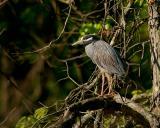 136 Yellow Crowned Night Heron