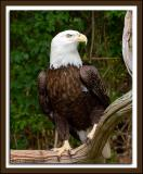 Zoo-Eagle_D2X_1999.jpg