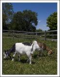 Goats_D2X_2534.jpg