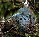 little blue heron nest