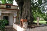 Tree under which swAmi performed kAlakshEpam