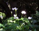 Sutro Park lilies