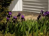 Irises on our front porch