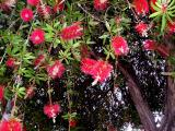 Bottle brush plants in Oakland