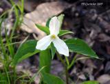 White Trillium 14