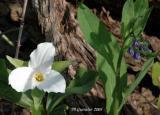 White Trillium 18