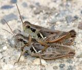 Pasture Grasshoppers - Melanoplus confusus