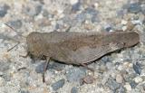 Sulphur-winged Grasshopper - Arphia sulphurea