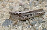 Grasshoppers genus Orphulella