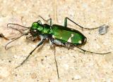 Barrens Tiger Beetle - Cicindela patruela