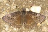 Sleepy Duskywing - Erynnis brizo  female