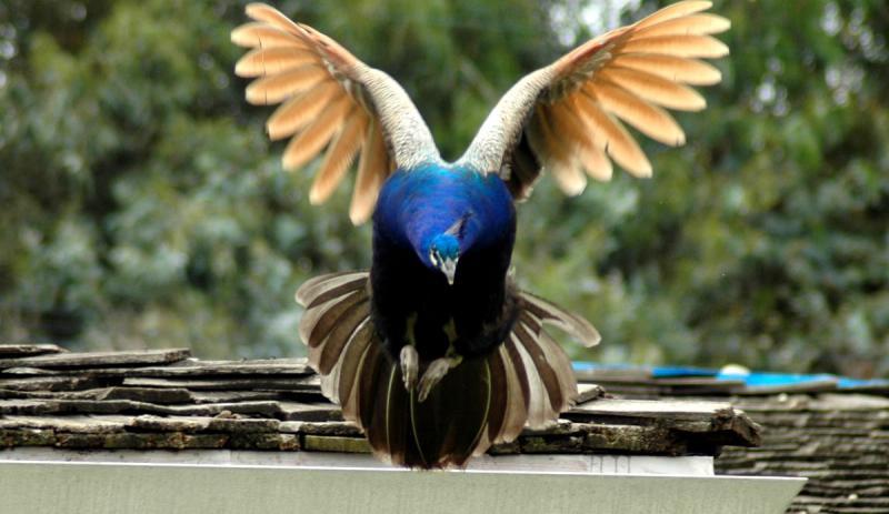 Flying peacock 01
