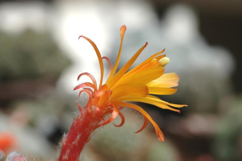 Cactuss Flower
