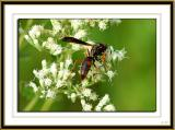 Probable solitary wasp