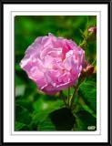 Taken from Mount Vernon's flower garden