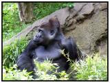 Gorilla - Dallas Zoo
