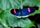 Cyrbia Longwing