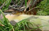 Northern Water Snake 3