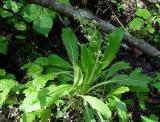 Lettuceleaf Saxifrage 1