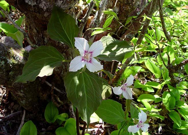 4 leaf Painted Trillium 1
