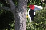 Giant Woodpecker.