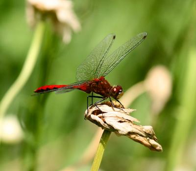 dragonfly4email.jpg