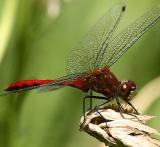 dragonfly wmiranda sharpening4pbase.jpg