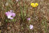 Checkerbloom (Sidalcea malviflora) and Mariposa Lily (Calochortus luteus)