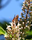 Checkerspot and California Buckeye (Aesculus californica)