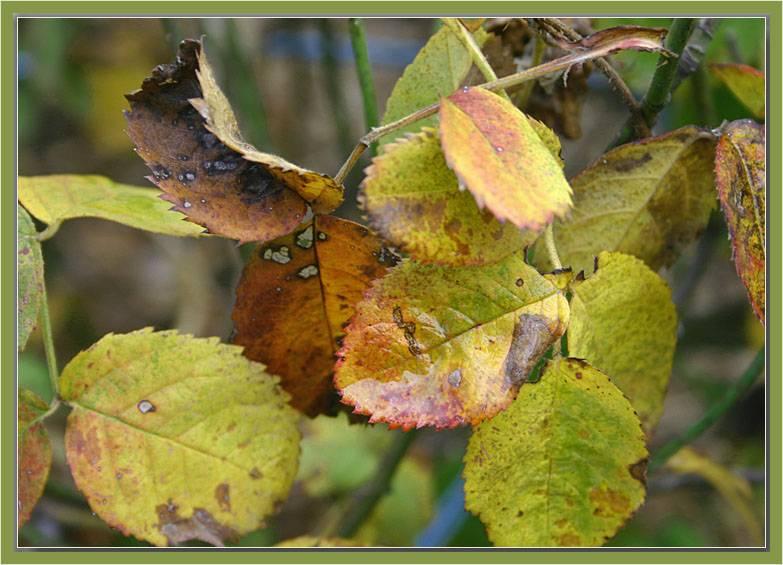 Chapeau de Napoleon autumn leaves.