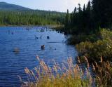 graminées sur lac