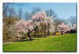 Branch Brook Park Cherry Blossoms